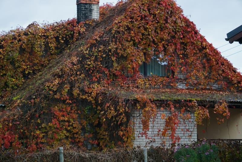 Gekroonde bladeren van wilde druiven die aan het dak van een huis hangen Autumn landschap stock foto