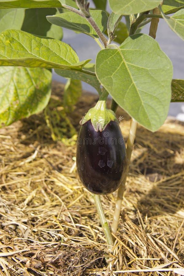 Gekweekte verse aubergine in natuurlijk licht stock fotografie