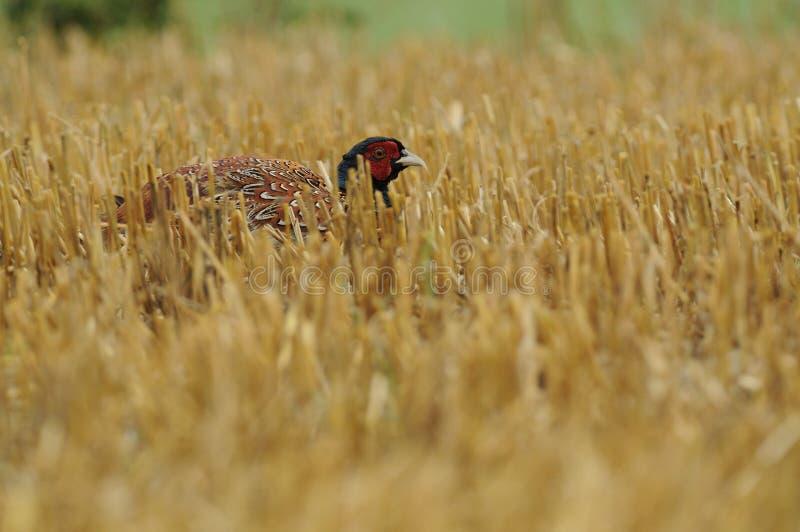 Geläufiger Fasan (Phasianus Colchicus) lizenzfreies stockfoto