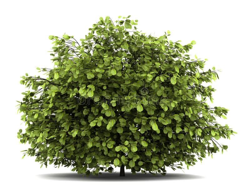 Geläufiger Haselnussbusch auf Weiß stock abbildung