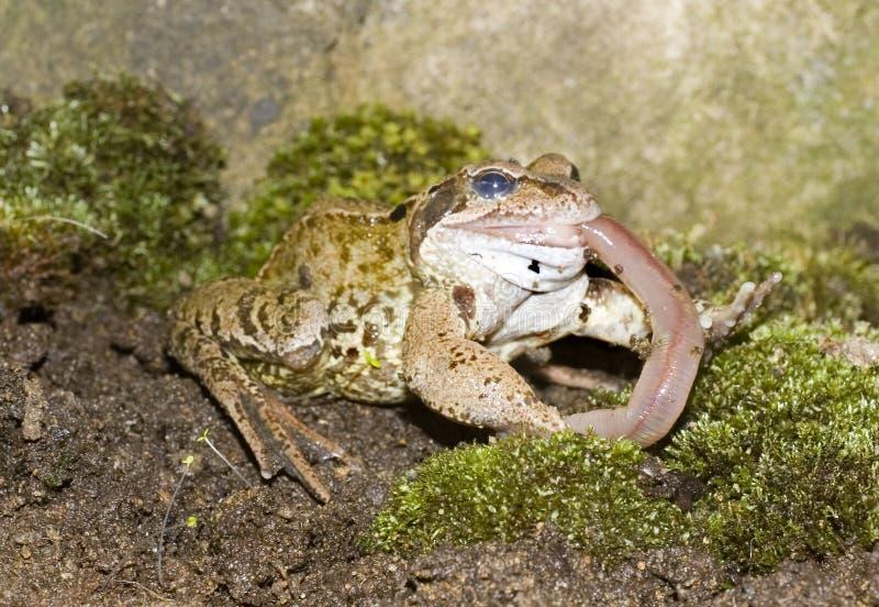 Geläufiges Frosch-Essen stockbilder