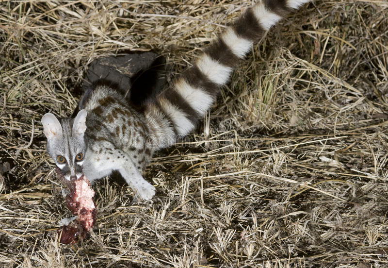 Geläufiges genet, das einen Köder isst. stockbild