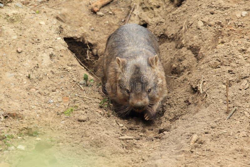 Geläufiges Wombat lizenzfreie stockfotos