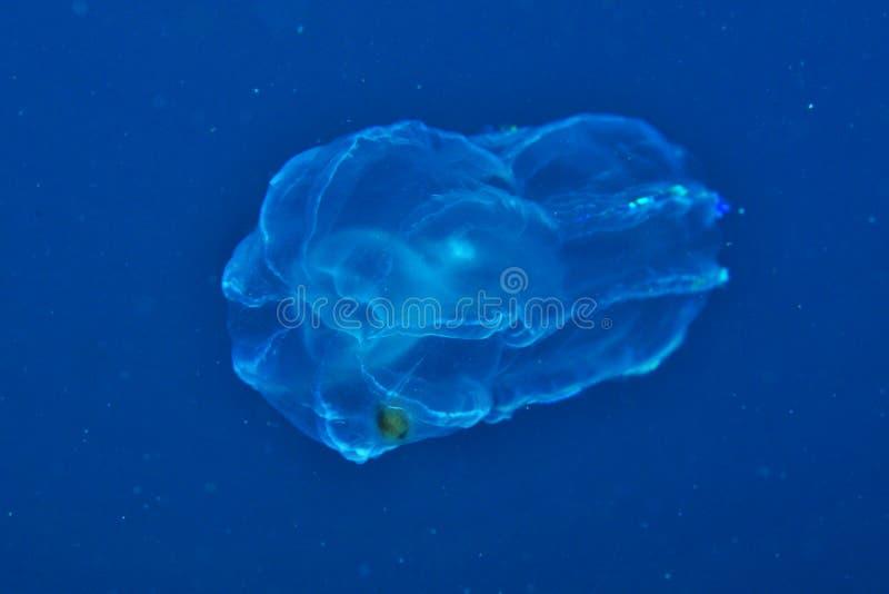 Gelée dans l'eau bleue photographie stock libre de droits