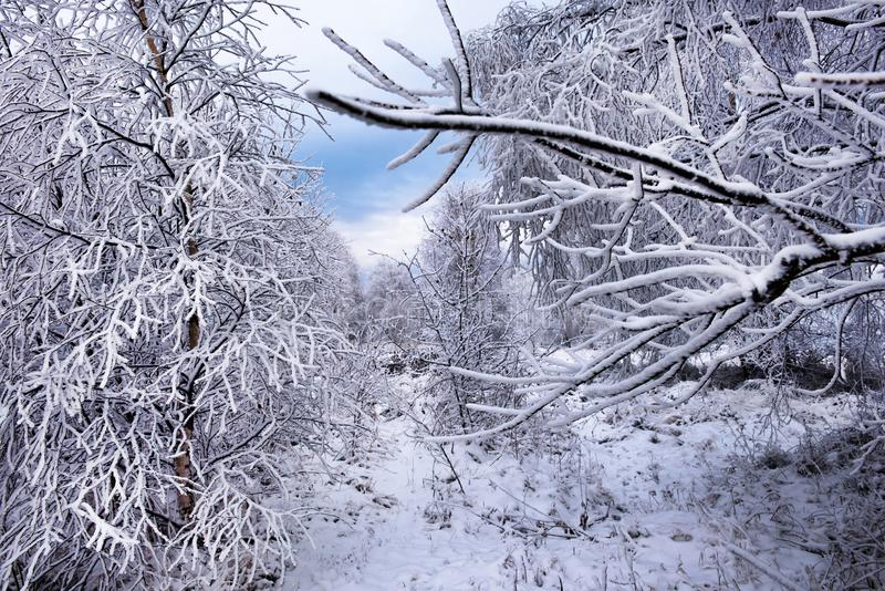 Gelée et neige de givre sur des branches d'arbre de bouleau photos stock