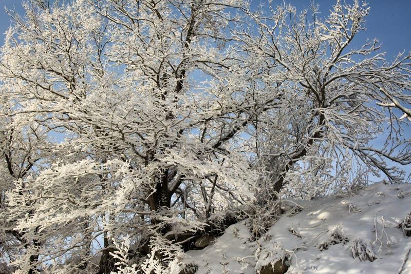 Gelée sur des branches d'un arbre image libre de droits