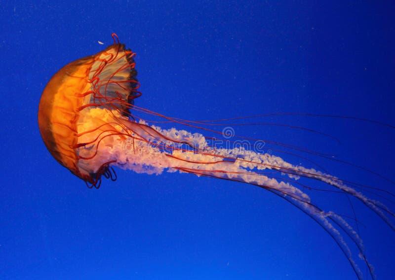 Geléia do mar fotografia de stock