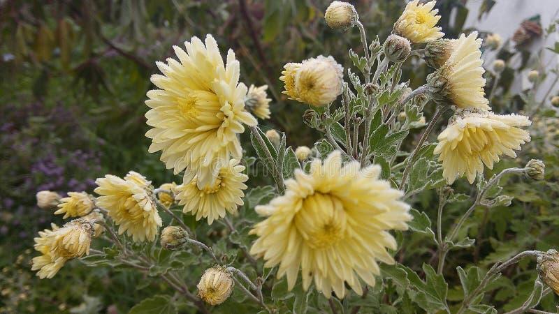 gel sur les chrysanthèmes photos libres de droits