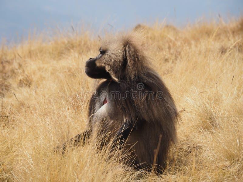Gelada狒狒, Theropithecus gelada,在埃塞俄比亚 免版税库存照片