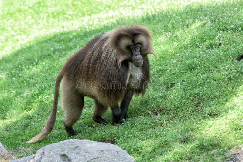 Gelada狒狒猴子猿画象 免版税图库摄影