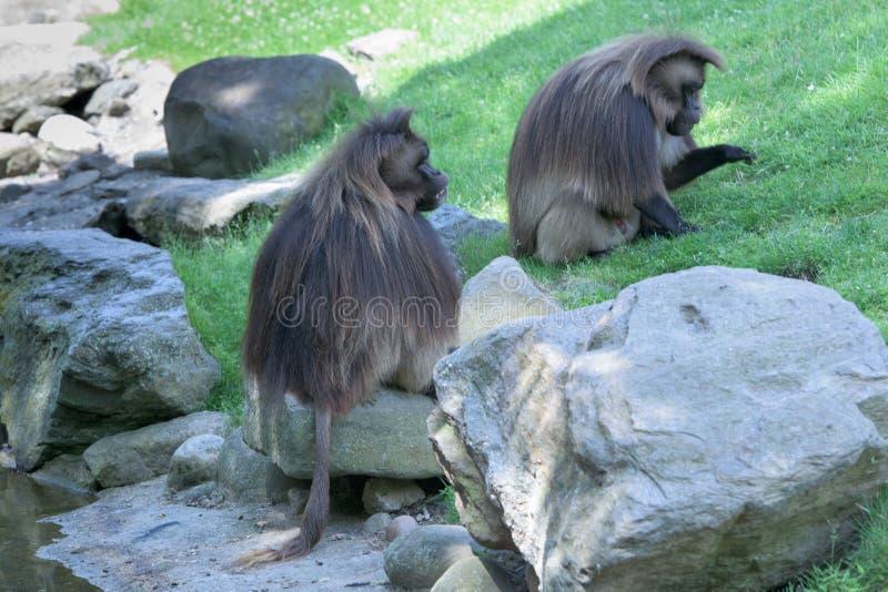 Gelada狒狒猴子猿画象 免版税库存照片