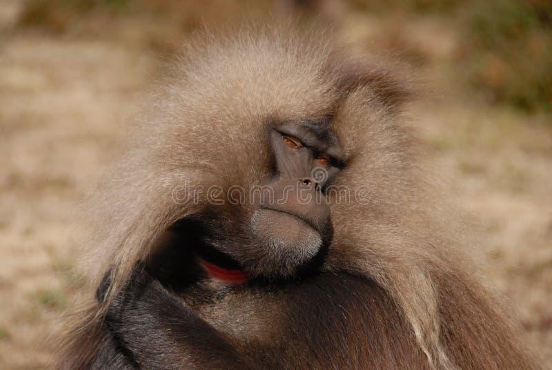 Gelada狒狒 库存图片
