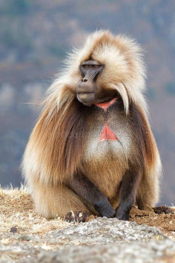 Gelada babian i Simien berg i Etiopien arkivfoton