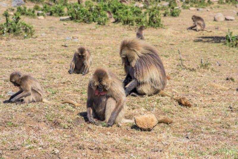 Gelada babianer som matar på, rotar arkivfoto