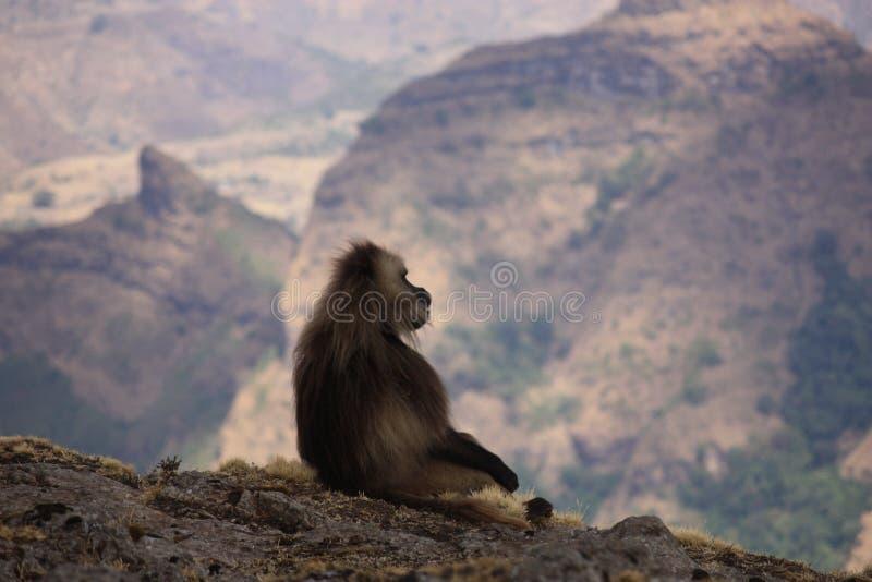 Gelada baboon royalty free stock image