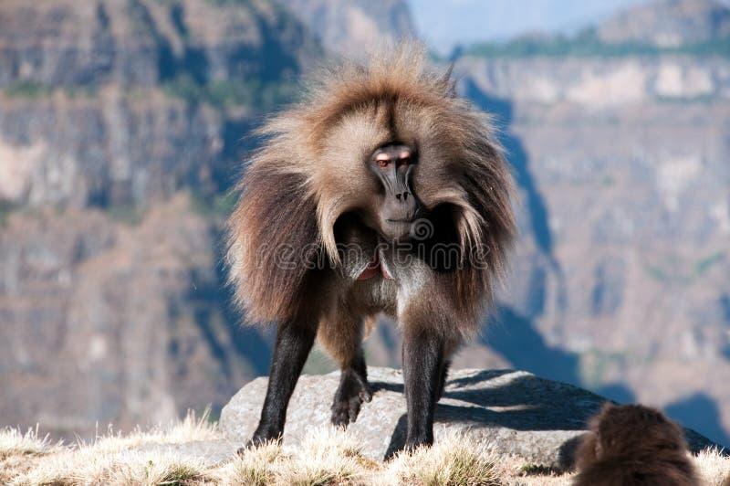 Gelada Baboon royaltyfria bilder