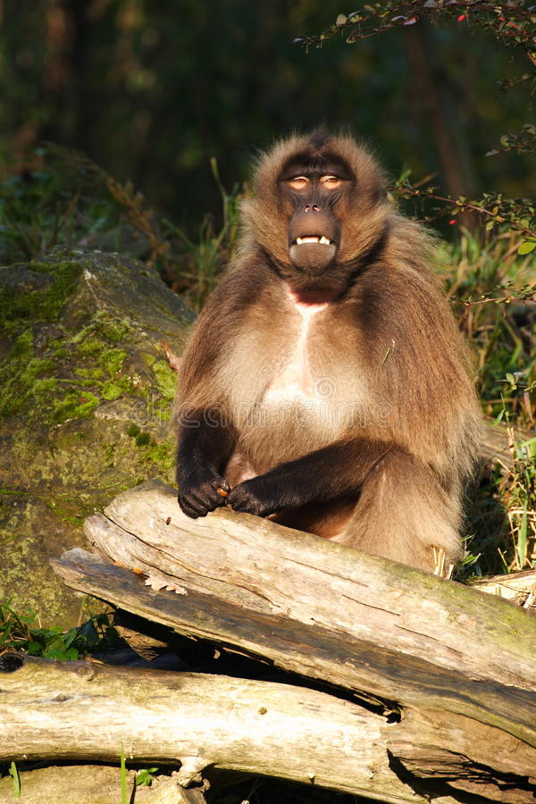 Gelada baboon royalty free stock photography