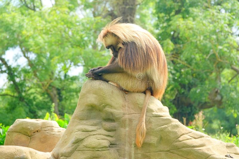 Gelada monkey sitting on rock. A Gelada baboon or Bleeding heart monkey Theropithecus gelada sitting on a rock looking at his feet stock photos