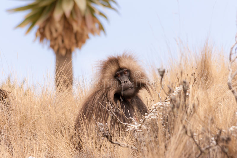 Gelada Baboon in dry grass royalty free stock photos