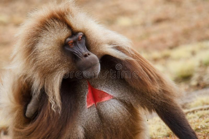 Gelada baboon male looking up - Simien Mountains - Ethiopia. Gelada baboon male portrait - Simien Mountains National Park- in the North of Ethiopia royalty free stock photography