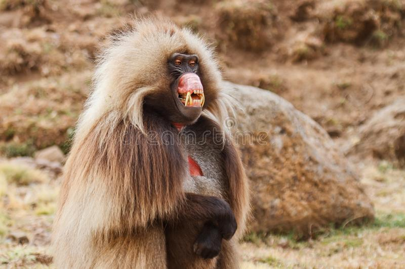 Gelada baboon male looking up - Simien Mountains - Ethiopia. Gelada baboon male portrait - Simien Mountains National Park- in the North of Ethiopia stock images