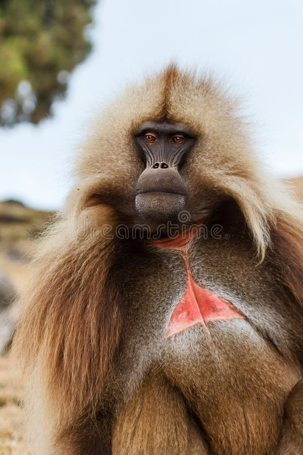 Gelada baboon male  - Simien Mountains - Ethiopia. Gelada baboon male portrait - Simien Mountains National Park- in the North of Ethiopia royalty free stock photo