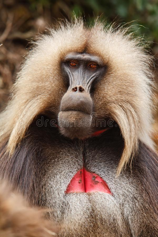 Gelada baboon male  - Simien Mountains - Ethiopia. Gelada baboon male portrait - Simien Mountains National Park- in the North of Ethiopia stock photo