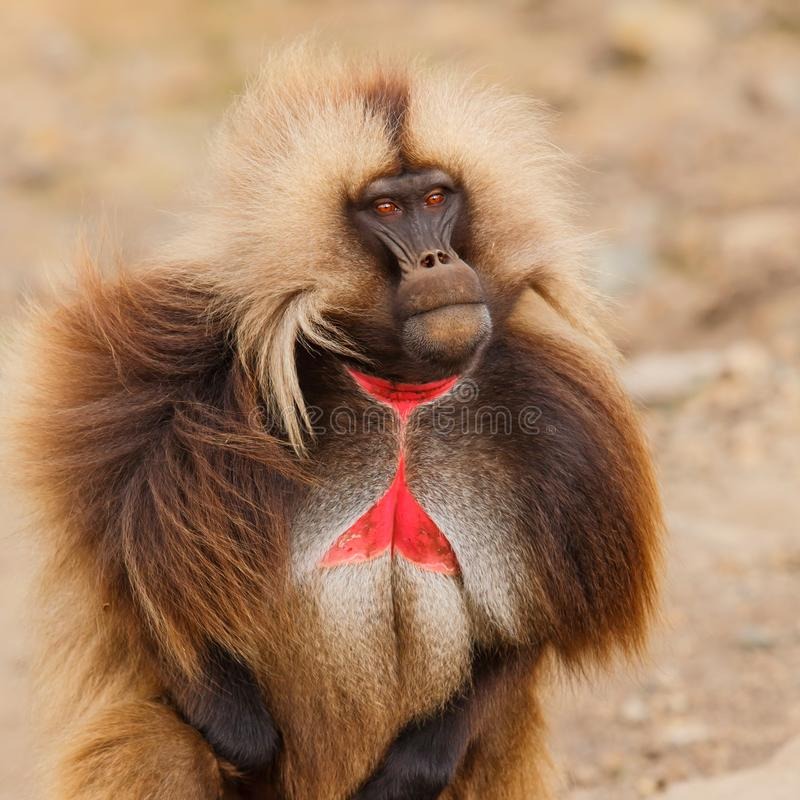 Gelada baboon male  - Simien Mountains - Ethiopia. Gelada baboon male portrait - Simien Mountains National Park- in the North of Ethiopia stock image