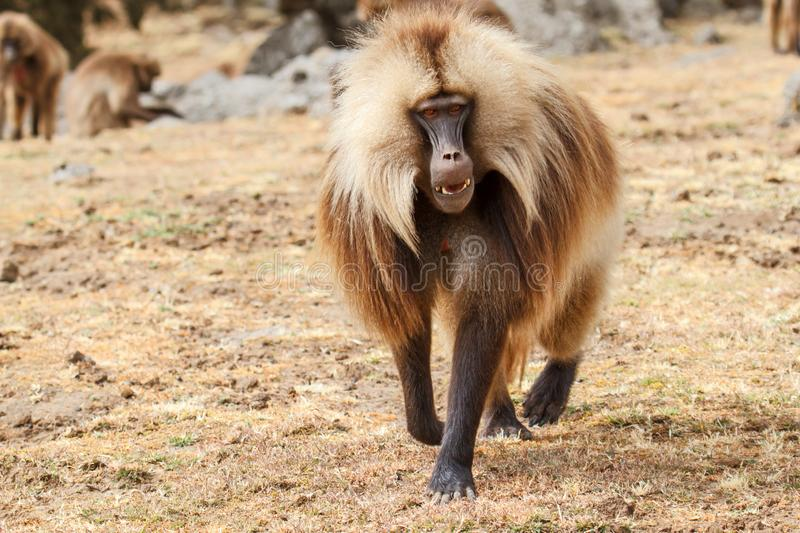 Gelada baboon male  - Simien Mountains - Ethiopia. Gelada baboon male walking - Simien Mountains National Park - in the North of Ethiopia royalty free stock image