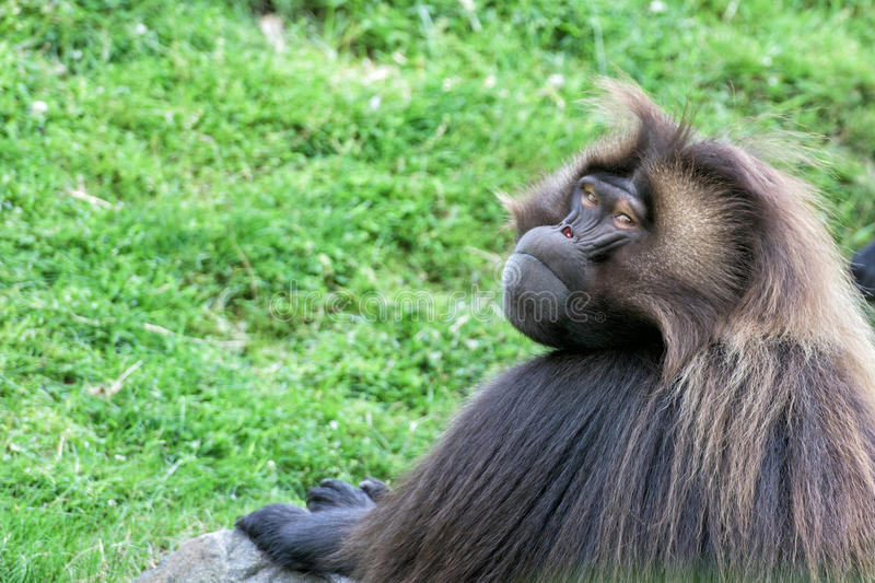 Gelada baboon monkey ape portrait stock images