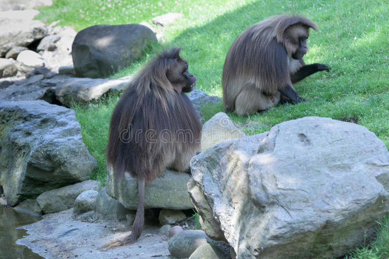 Gelada baboon monkey ape portrait royalty free stock photos