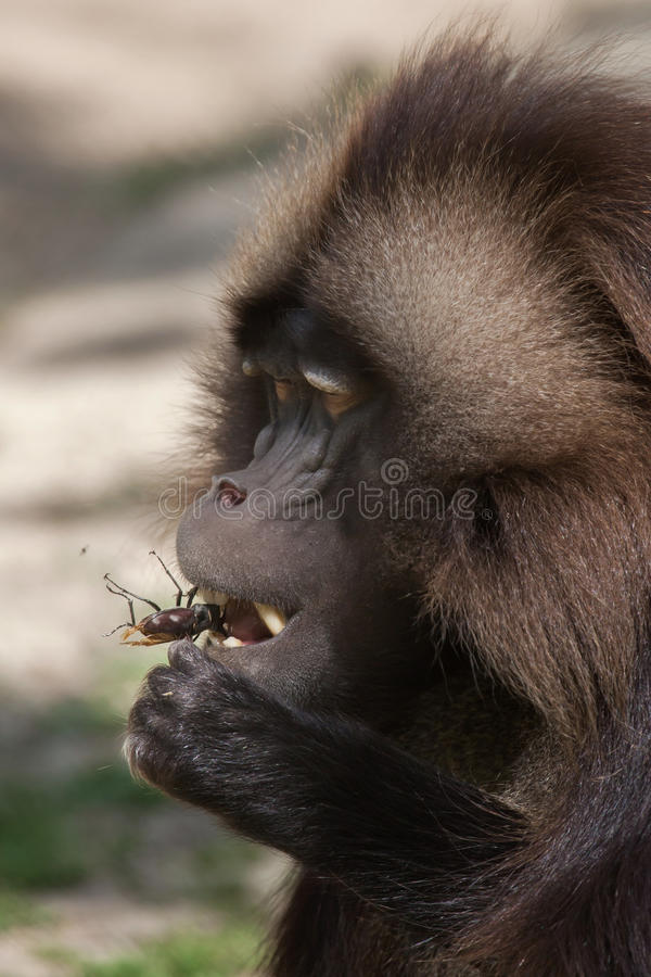 Gelada baboon Theropithecus gelada eating the stag beetle stock photos