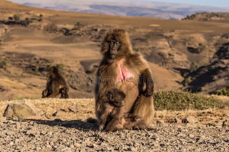 Gelada Baboon - Theropithecus Gelada. Simien Mountains in Ethiopia. Gelada Baboon Theropithecus Gelada . Simien Mountains National Park. Geladas are great stock photos