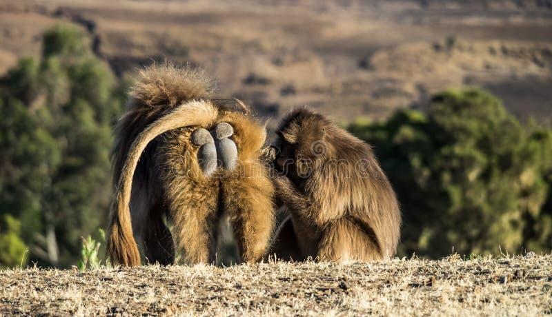 Gelada Baboon - Theropithecus Gelada. Simien Mountains in Ethiopia. Gelada Baboon Theropithecus Gelada . Simien Mountains National Park. Geladas are great royalty free stock photography