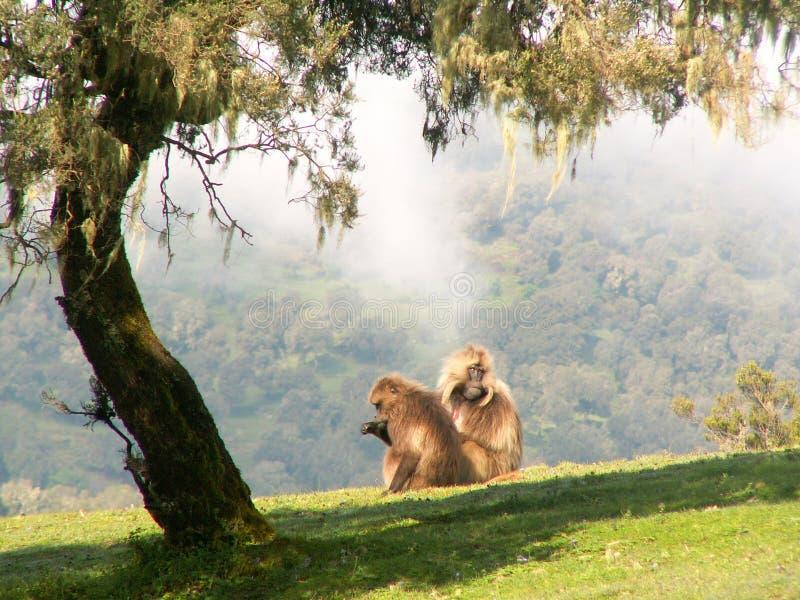 Gelada baboons stock photo