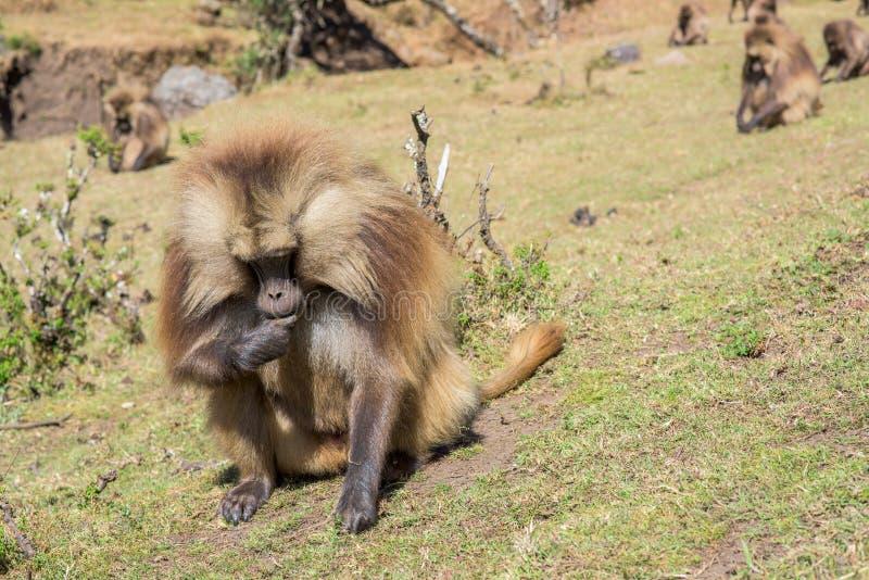 Gelada baboons feeding on roots stock photo