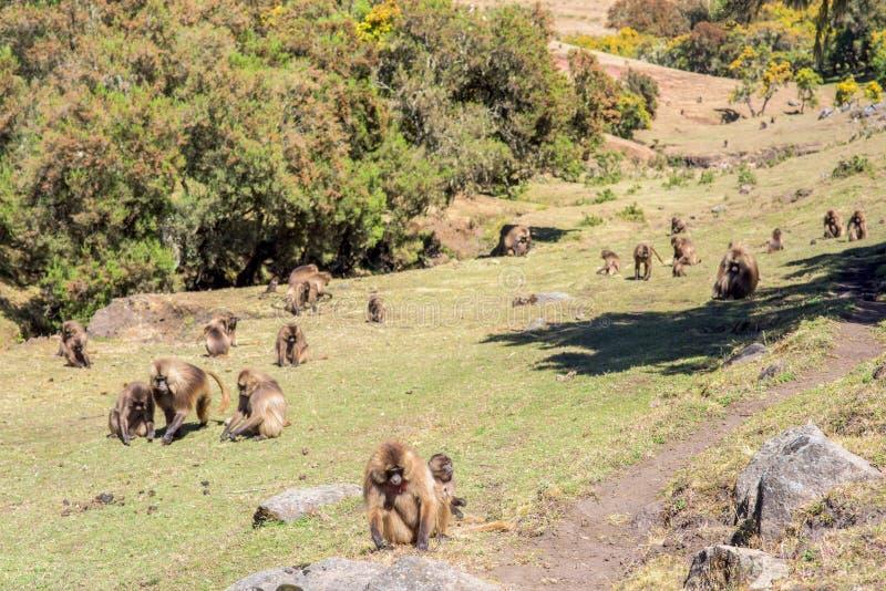 Gelada baboons feeding on roots royalty free stock image