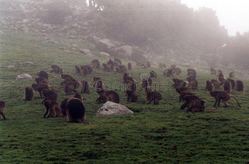 Gelada baboons. A group of gelada baboons in the semien national park in ethiopia royalty free stock photo