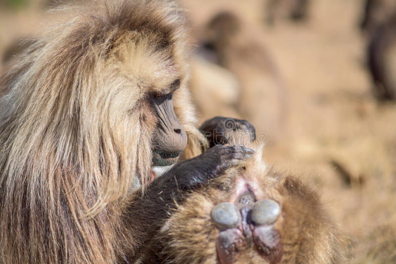 Gelada baboons searching for fleas royalty free stock photo