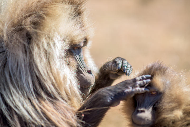 Gelada baboons searching for fleas. In Simien mountains in Ethiopia stock photo