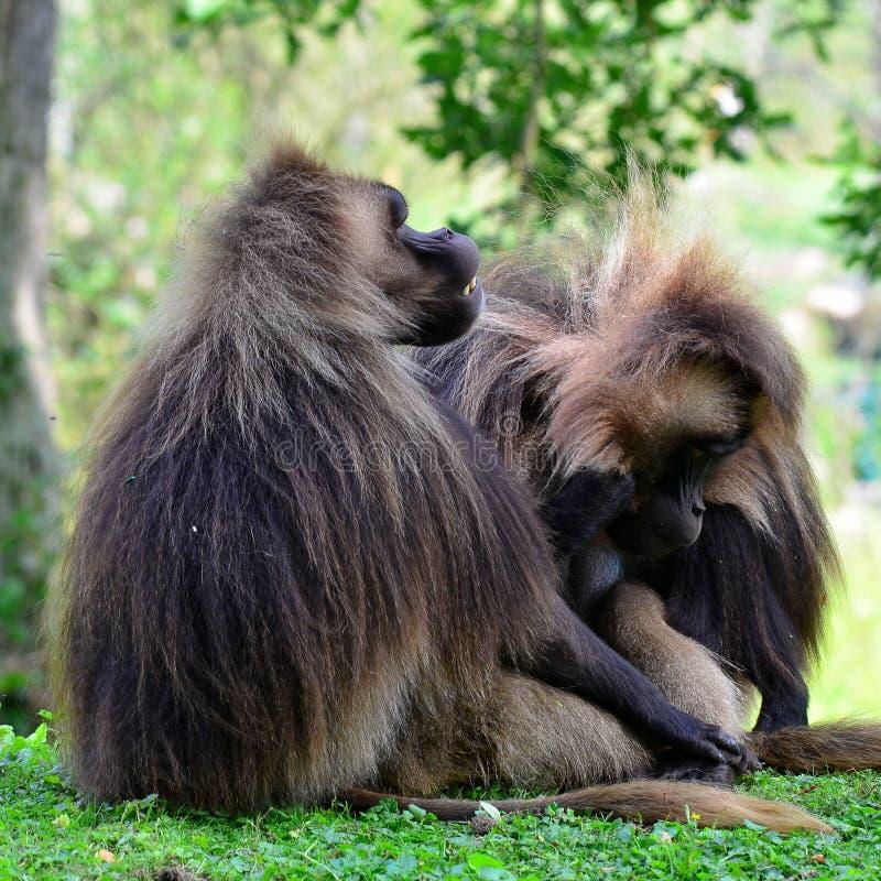 Gelada Baboons (Theropithecus gelada) stock image
