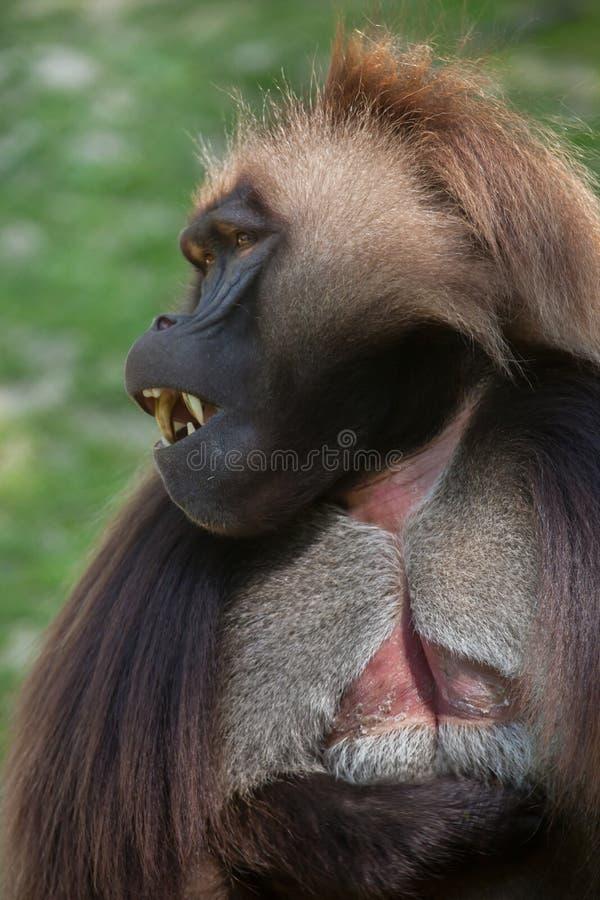 Gelada de Theropithecus do babuíno de Gelada fotografia de stock