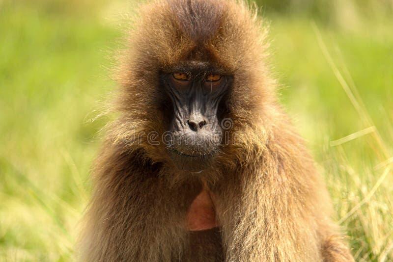 Gelada Monkey, Simien Mountains Ethiopia. Female Gelada monkey looking straight to the camera in Simien Mountains, Ethiopia stock image