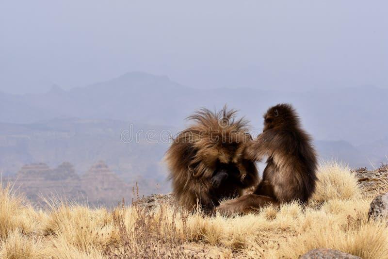 Gelada-Paviane, die in den Simien-Bergen sich putzen stockbilder