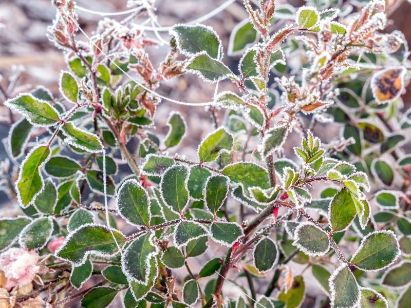 Gelado aumentaram as folhas foto de stock
