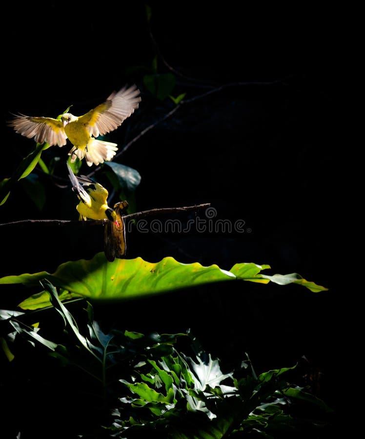Gelatik鸟 图库摄影