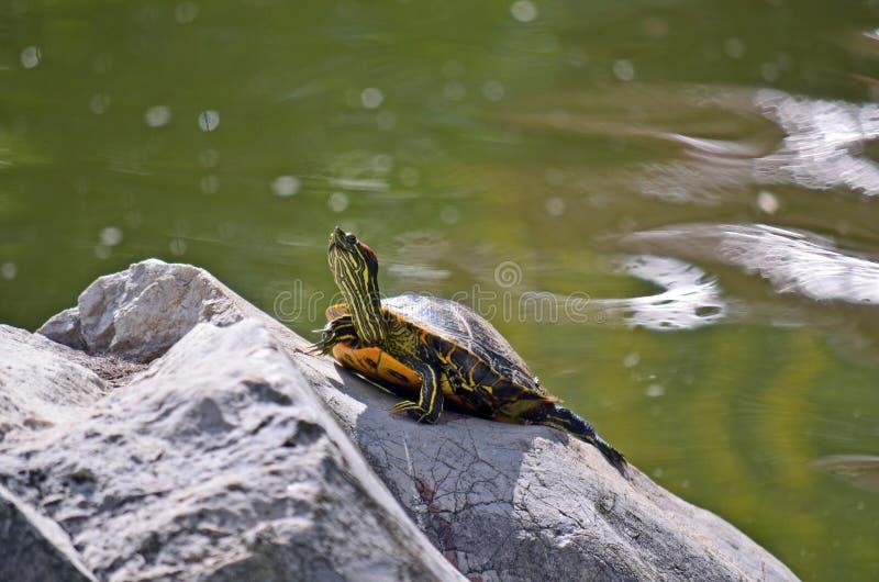 Gelb aufgeblähte Schieberschildkröte (Trachemys-scripta) stockbild