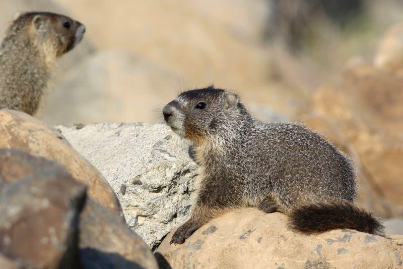 Gelb-aufgeblähtes Murmeltier - Marmota flaviventris stockfotografie