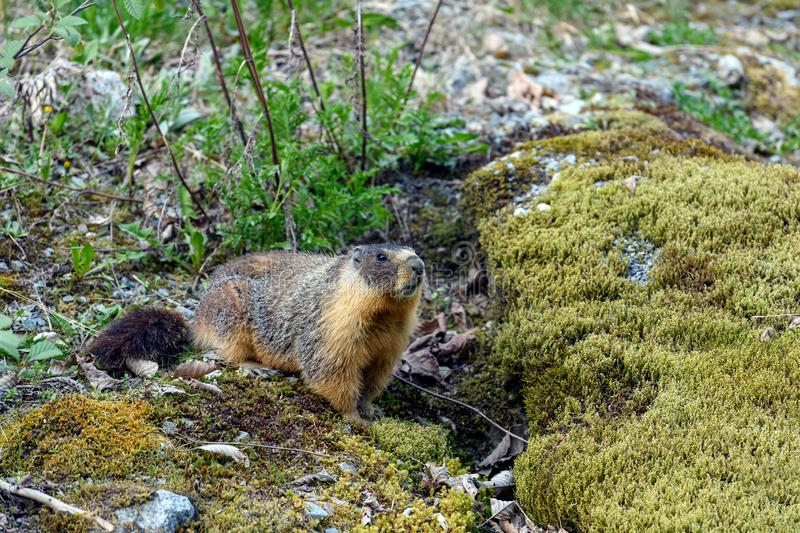 Gelb-aufgebl?hte Murmeltier Marmota flaviventris, alias Felsen-Klemme, schauend aus dem Eingang seines Baus heraus stockfoto