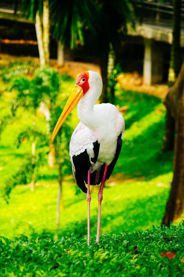 Gelb-berechnet der Storch, der auf grünes Gras geht lizenzfreie stockbilder